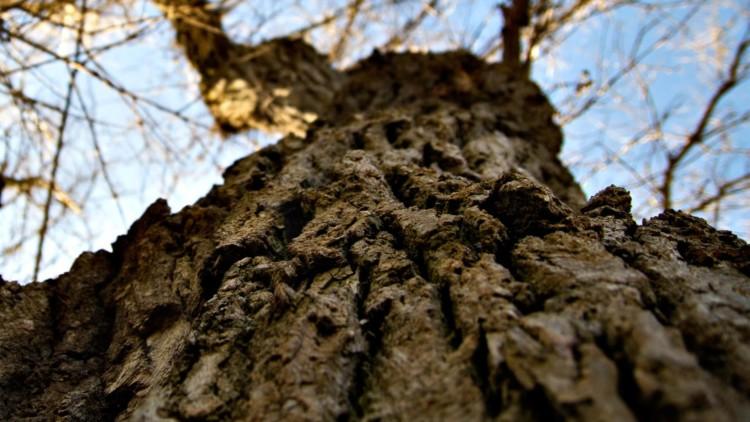 oak-tree-163909