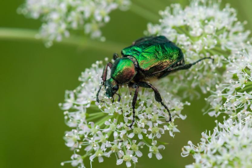 Grøn pragttorbist. Foto: Jimmy Lassen