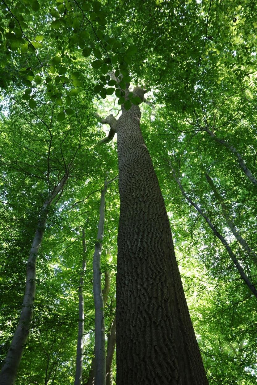 Stort asketræ