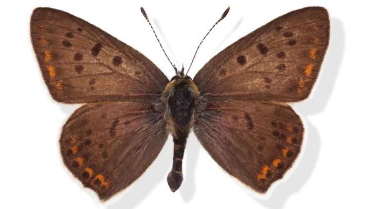 Sort ildfugl Lycaena tityrus han