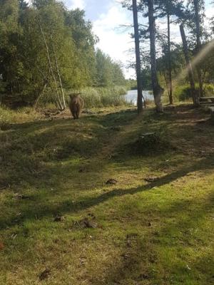Skotsk højlandskvæg græsser i Bøtøskoven