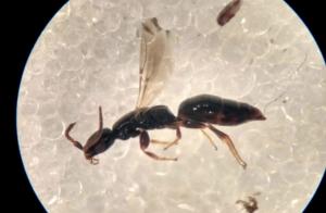 Ny hvepseart for Danmark - Epyris nigricornis