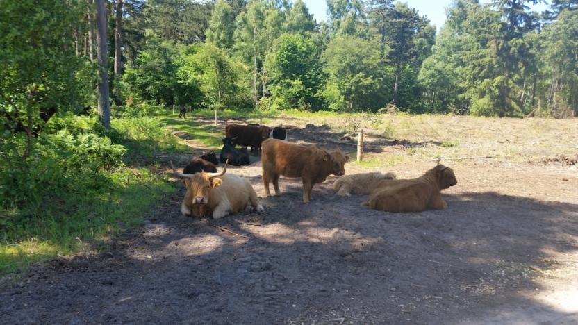 De første firbenede naturplejere er flyttet ind i Bøtøskoven. Den Danske Naturfond