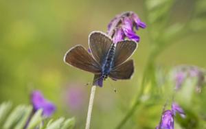 Engblåfugl (Cyaniris semiargus ) er gået dramatisk tilbage gennem de sneste år trods det, at dens larver lever blandt andet lever af den almindelige rød-kløver. Men sommerfuglen er kræsen og stiller særlige krav til sine levesteder i form af lys, varme og masser af vilde plantearter i blomst. Foto: Peder Størup