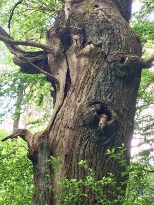 Veterantræ. Foto: Zoologisk Have, København